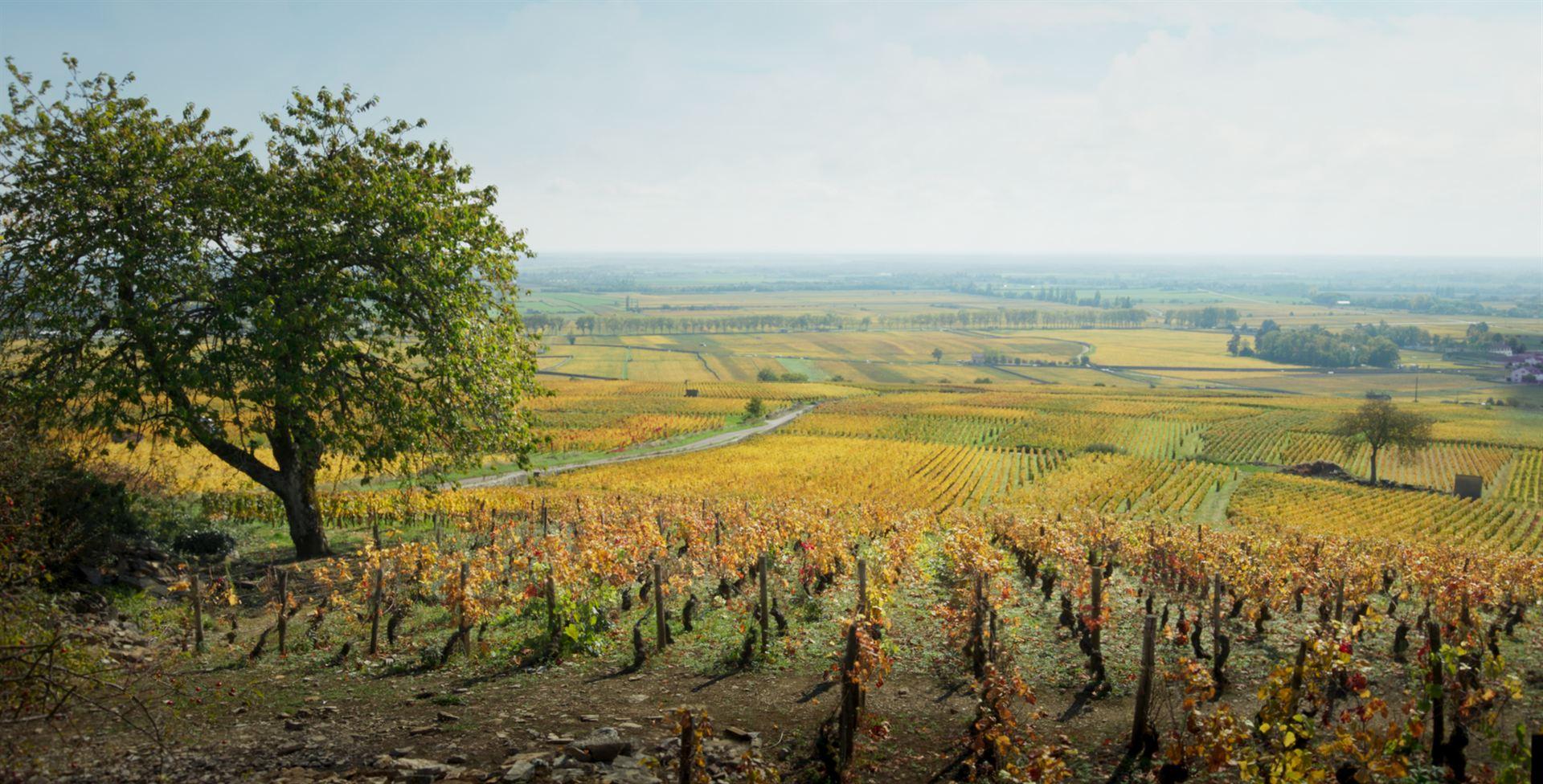 Retour en Bourgogne: le coeur a ses raisins.